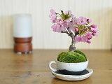 桜盆栽 さくら 桜ミニミニティーカップ かわいい おしゃれ 初心者 贈り物 ギフト プレゼント 誕生日 バレンタイン さくら 母の日 ミニ盆栽 bonsai ぼんさい 桜特集
