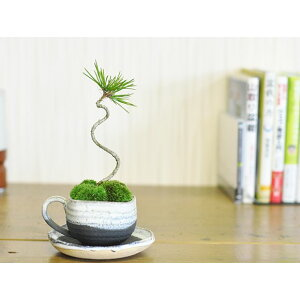الصنوبر بونساي كوروماتسو فنجان قهوة صغير [هدية المبتدئين لطيف هدية هدية هدية عيد ميلاد عيد الحب عيد الأم مصغرة بونساي بونساي بونساي]