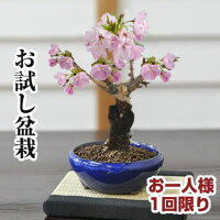 盆栽お試し桜ミニ