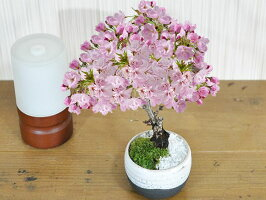 ミニ桜いっぷく