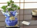 バレンタインデーに松の盆栽をプレゼント 五葉松 育て方冊子と...