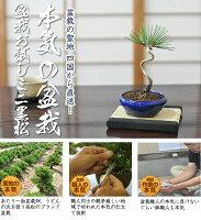 盆栽お試し初めてのミニ盆栽五葉松。説明書と肥料付き【到着後レビューを書いて送料無料】