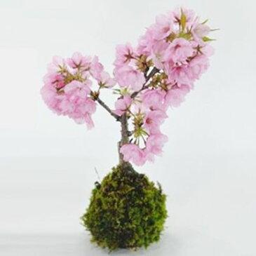 桜の苔玉【盆栽 ミニ盆栽 bonsai ボンサイ ぼんさい 小品 誕生日 引越し祝昇進退職贈り物プレゼント】