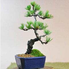 盆栽 はじめての盆栽 育てやすい五葉松ミニ盆栽 ラッピング無料 送料無料 あす楽 趣味 定年 …