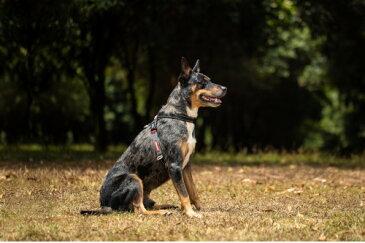 [引っ張り緩和トレーニングに] EZY DOG イージードッグ クロスチェックハーネス XSサイズ 全2色【犬/ハーネス/胴輪/小型犬】