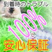 熱帯魚・観賞魚アスピドラス/コリドラスジュリーベレン産ワイルド2匹セット