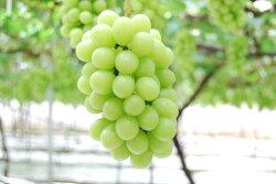 【ふるさと納税】 シャインマスカット 山梨 産地直送 2〜4房 約2kg フルーツ ブドウ 高級 朝採り (クラウドファンディング対象) 画像2