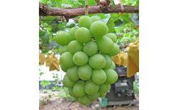 【ふるさと納税】シャインマスカット 2房(1.1kg以上) 【マスカット・フルーツ・果物・ぶどう・果物類】 お届け:2020年8月下旬〜9月下旬 画像2