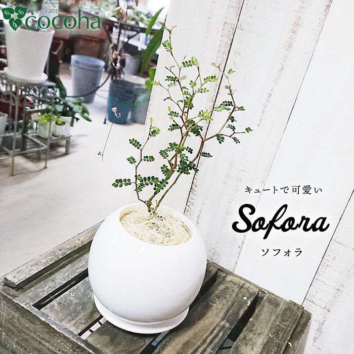 ミニミニ葉っぱとジグザグ幹が可愛い『ソフォラ』[糸島][cocoha]観葉植物/グリーン/癒し/緑のある生活/暮らし