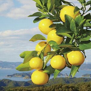 【ふるさと納税】させぼレモン生果実(新種和レモンみよし)