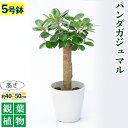【ふるさと納税】観葉植物 パンダガジュマル5号サイズ【前園植物園】