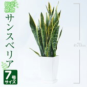 【ふるさと納税】サンスベリア・ローレンティー7号サイズ(約70cm)【GreenBaseN】南国鹿児島で育った観葉植物【1067984】