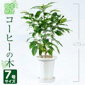 【ふるさと納税】コーヒーの木7号サイズ(約70cm)南国鹿児島で育った観葉植物!【GreenBaseN】【】