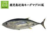 【ふるさと納税】鹿児島近海キハダマグロ1尾