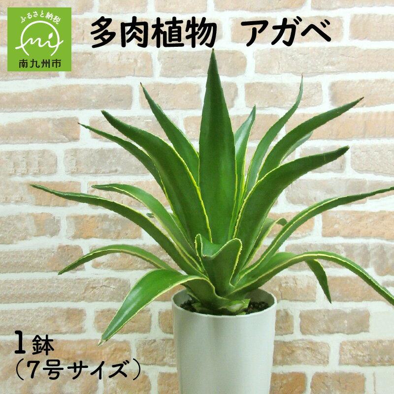 多肉植物 アガベ1鉢
