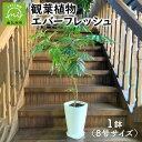 【ふるさと納税】観葉植物 エバーフレッシュ8号サイズ1鉢