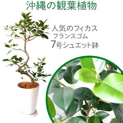 沖縄の観葉植物[人気のフィカス]フランスゴムの木 7号シュエット鉢