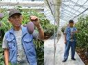 減農薬 マンゴー 太陽の子 2L 2玉 画像3