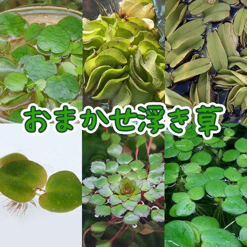 (水草)<br>おまかせ浮き草 2種<4株><br><br>【水槽/熱帯魚/観賞魚/飼育】【生体】【通販/販売】【アクアリウム】<br>
