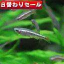 (熱帯魚 生体)( 日替わり限定) アカヒレ (Sサイズ)(約1cm)...