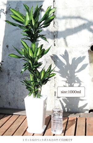 (観葉)【幸福の木】ドラセナジェレ8号鉢の鉢植え白セラート鉢【DracaenaJelle】選べる観葉植物【カゴ付き】【受け皿付き】育てやすい☆花鉢/鉢植え/販売/誕生日/開店/祝い/引越祝い/新築祝い/インテリア/幸福の樹【送料無料】観葉植物【モダン】/05P23Apr16
