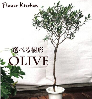 『 香川県産 選べる樹形 一点もの オリーブスタンド 7号鉢 玉仕立て 白セラート鉢 』...
