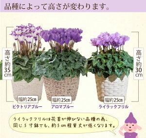 お花のサイズ【送料無料】セレナーディア青いシクラメン