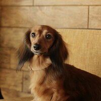 小型犬用,ヌメ,革,2枚,仕立て,カラー