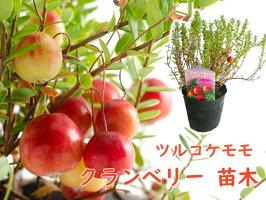 苗木【クランベリー】12cmポット樹高約20〜30cmツルコケモモ観賞用食用
