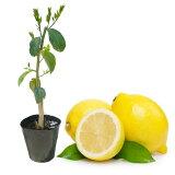 【すくすく成長中】レモン 苗 レモンの木 「マイヤーレモン」 13.5cm(4.5号)ポット 樹高約40〜50cm 接ぎ木2年生苗 マイヤー メイヤー レモン 新芽ぐんぐん伸びてます!