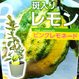 とにかく根がガッチリ! レモン 苗木 苗 レモンの木 「ピンクレモネード」 4.5号鉢(13.5cm) 樹高約25cm〜30cm 斑入りの珍しいレモンです