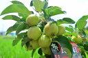 贈り物に【長寿紅リンゴ】リンゴの苗 ゴルフボールサイズの実がなります 記念樹に プラ鉢入り