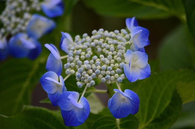 ブルースカイアジサイ苗【ガクアジサイ】ブルーの大輪がとてもキレイ