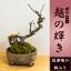 【ボケ盆栽】春の訪れ 育てやすく贈り物に お雛様にも【越の輝き】