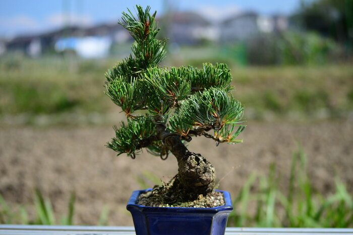 【盆栽】五葉松盆栽楽しみをプレゼントに誕生日ギフトにも姿を楽しむ◎父の日プレゼント父の日ギフトに