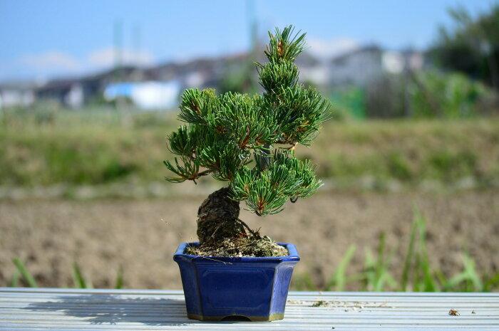 【盆栽】五葉松盆栽信楽鉢入楽しみをプレゼントに誕生日ギフトにも姿を楽しむ◎父の日プレゼント父の日ギフトに