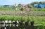 2020年4月下旬〜5月頃開花 3種類の中からお好きな花を選べますハナミズキ苗木 ジュニアミス クラウドナイン レッドジャイアント