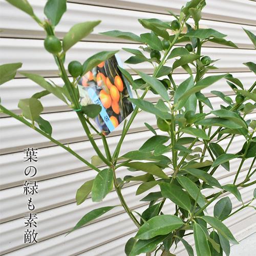 キンカン鉢植え【食べて楽しむ果樹シリーズ】きんかん