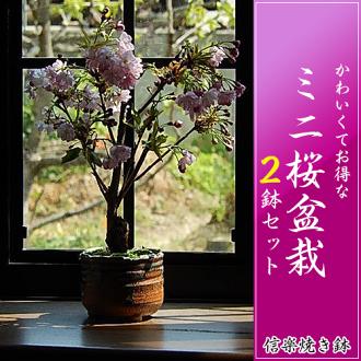 買 2 個罐子設置在 2016 年,在櫻花盛開的櫻花會春光明媚櫻花盆景櫻桃開花盆景單人和雙人的 n.樂碗與