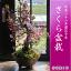 ハナカイドウ盆栽 さくら盆栽 桜盆栽 プレゼントやお祝い事の贈り物に2018年4月頃の春に開花 開花時期は多少前後します