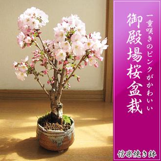 在在禮物開花了的時候,在賞花櫻花盆栽盆栽殿場桜信楽焼鉢入ri御殿場櫻花盆景2017年春天在客廳在開花自己的家賞花