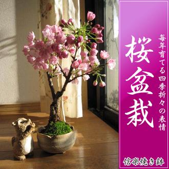 盆栽的盆景植物在葉櫻花櫻花盆景盆景櫻桃櫻桃盆景禮品
