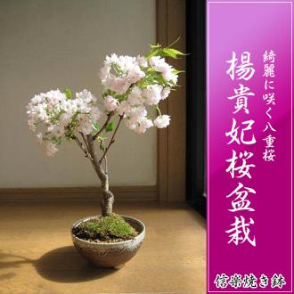 楊貴妃桜盆栽八重咲桜盆栽信楽鉢入ri 2017年春天在開花自己的家賞花