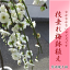 【盆栽 梅】 2018年開花 しだれ梅 白梅  八重咲の白色と 香りの贈り物 このサイズでは珍しい  しだれ白梅 【鉢植】