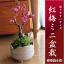 【梅盆栽】 紅梅盆栽 ミニ梅の盆栽 開花は 2018年に開花 【鉢植】【年末年始のお祝い お歳暮に】
