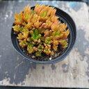 多肉植物 オロスタキス属 ツメレンゲ Japonica 2.5号