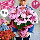 母の日 プレゼント アジサイ【ひと回り大きい6号鉢】 あじさい 鉢植え 早割 ギフト 紫陽花 鉢花