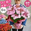母の日 あじさい 鉢植え【ワンサイズ大きい6号鉢】 アジサイ...