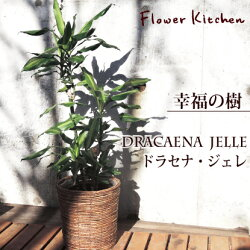 【幸福の木】ドラセナ ジェレ8号