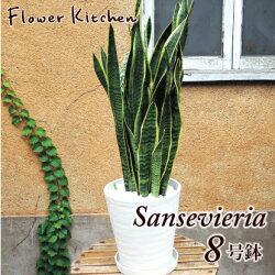 サンスベリア ローレンチー 8号鉢 白セラート鉢
